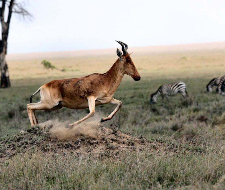 antilope dans le parc Kruger en Afrique du Sud