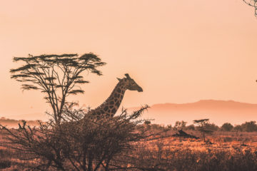 Girafe au coucher du soleil dans la savane