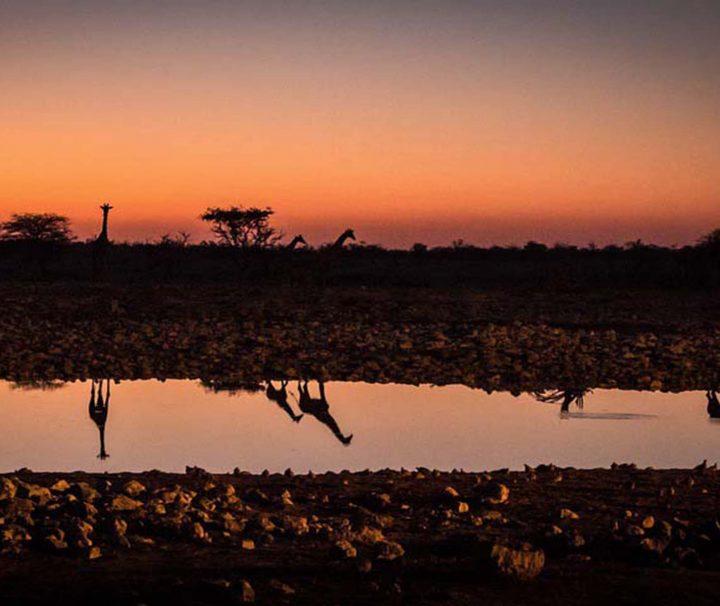 girafes au coucher de soleil à un point d'eau dans le parc Etosha en Namibie