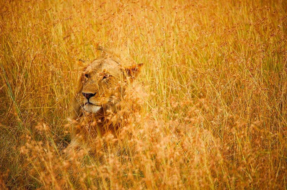 lion allongé dans la savane