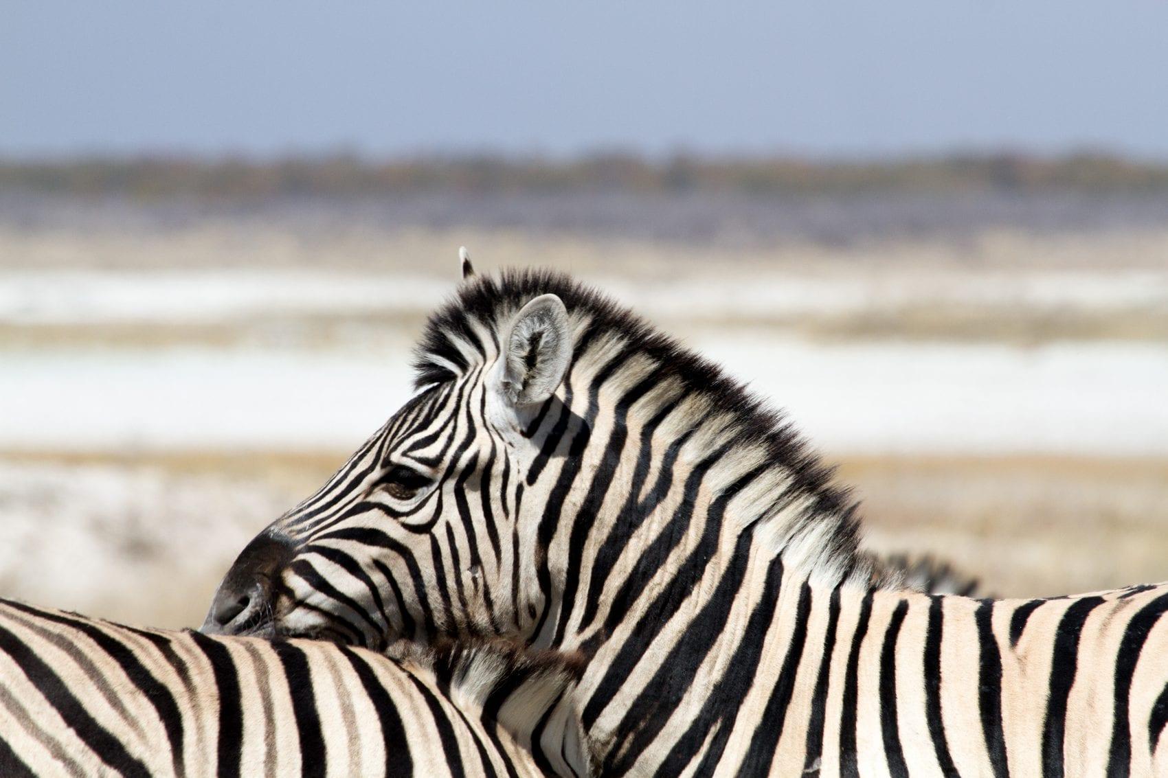 Deux zèbres s'enlaçant en safari en Namibie à Etosha.