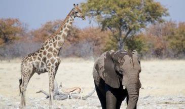 Un éléphant et une girafe à Etosha en Namibie, Afrique Australe.