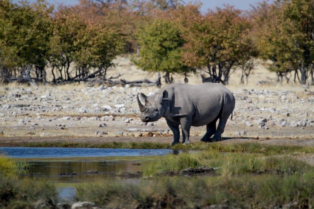 Rhinocéros noir à un point d'eau du parc national d'Etosha en Namibie