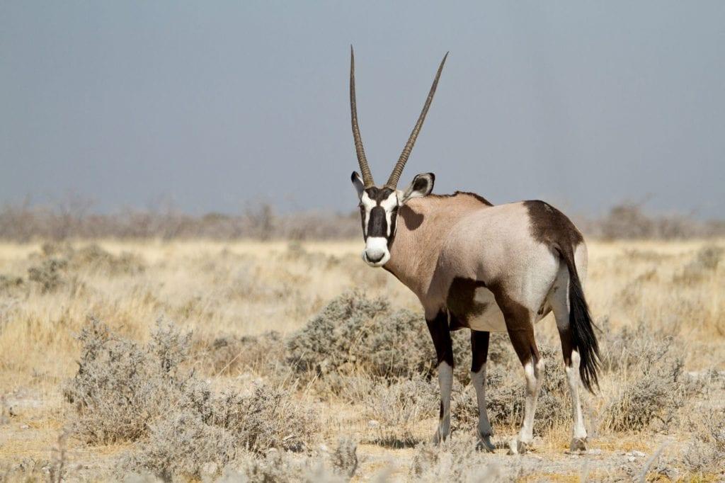 Oryx dans le Parc National d'Etosha en Namibie