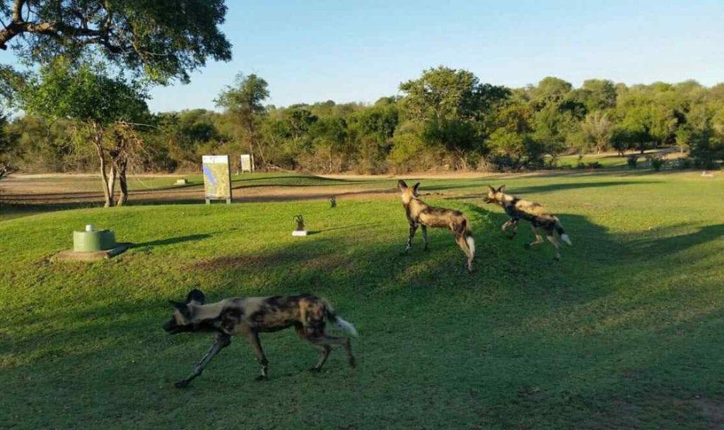 Chiens sauvages d'Afrique sur un terrain de golf en Afrique du Sud