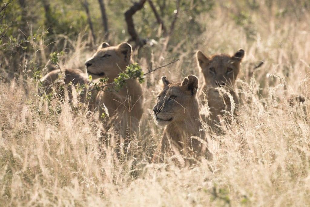 Trois lionceaux dans le parc Kruger