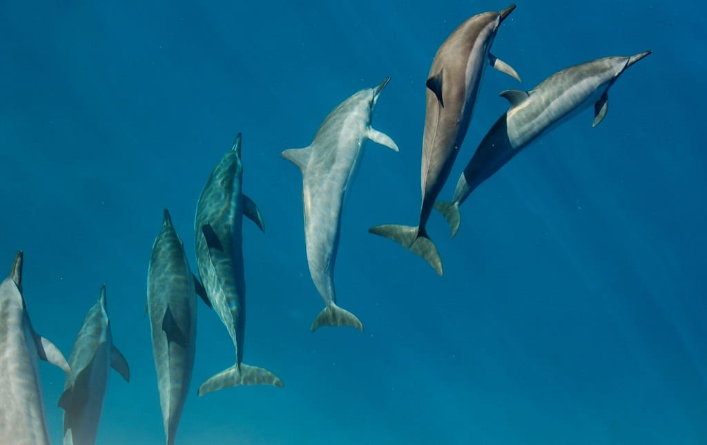 Banc de dauphins en Afrique du Sud
