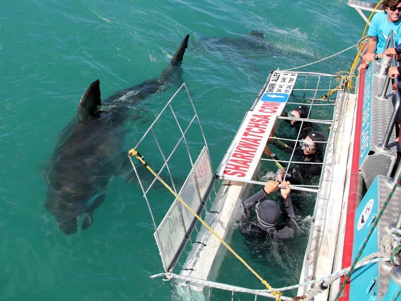Plongée en cage et observation des requins blancs dans la baie de Gansbaai
