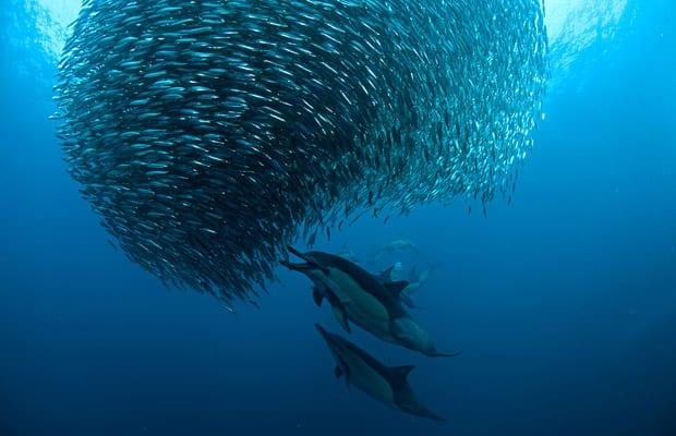 Sardine Run sur les côtes d'Afrique du Sud