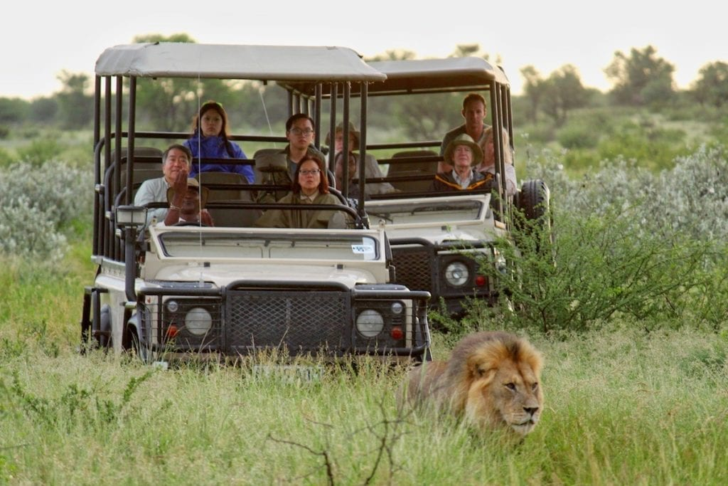 Lions dans le désert du Kalahari en Namibie