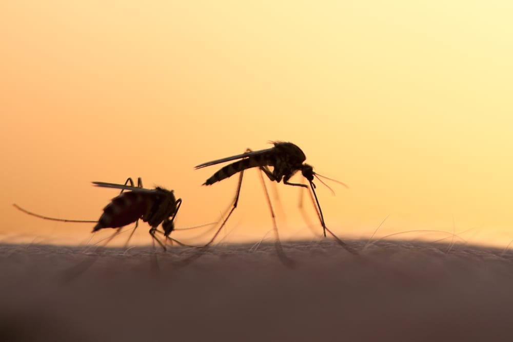 Deux moustiques sur le bras d'un homme - Préparer son voyage, point sur les visa et la Malaria en Afrique du Sud