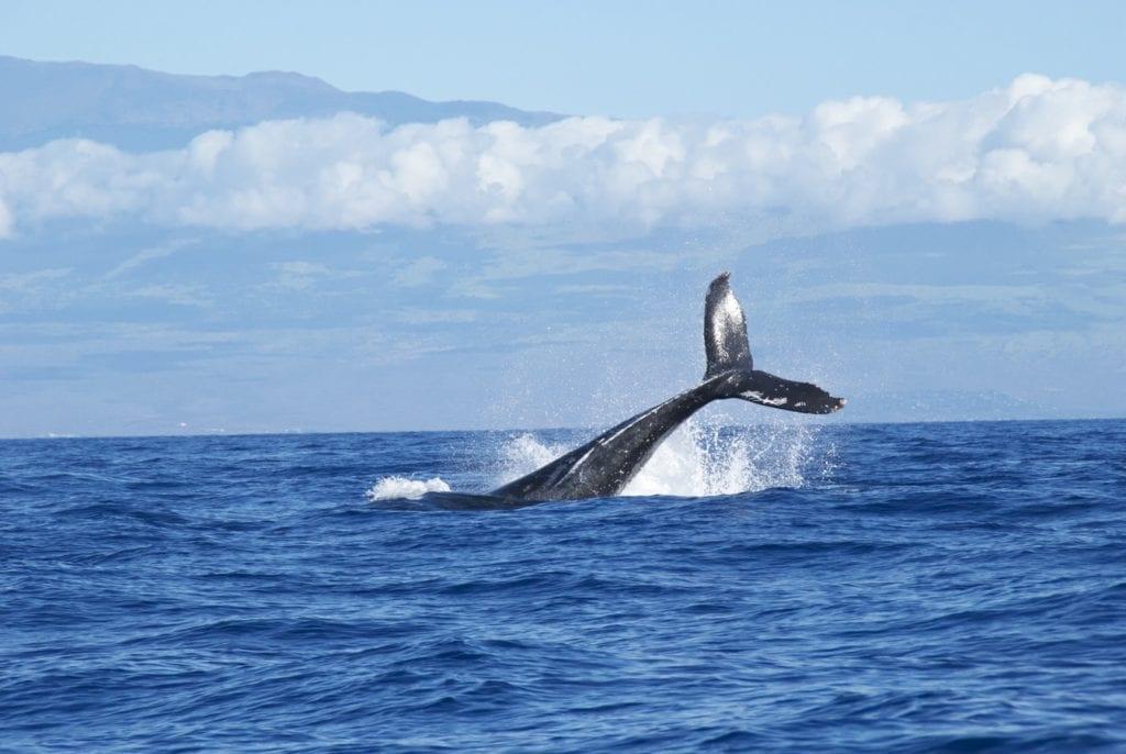 Photographie d'une baleine à la surface de l'océan, prise à Hermanus sur la Garden Route.
