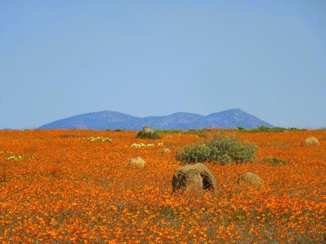 Fleurs du désert de Namaqualand et Floraison en Afrique du Sud.