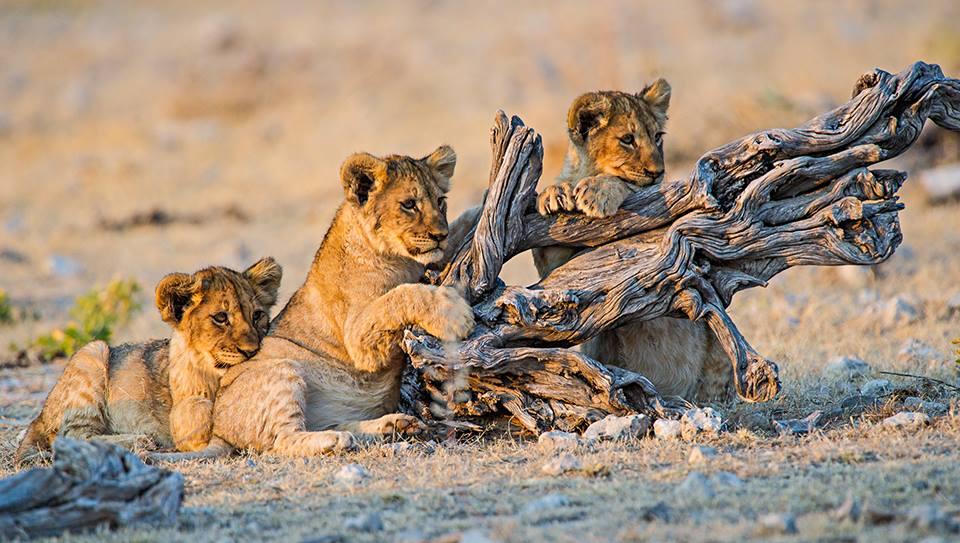 Photo de lionceaux dans le Parc National Etosha en Namibie