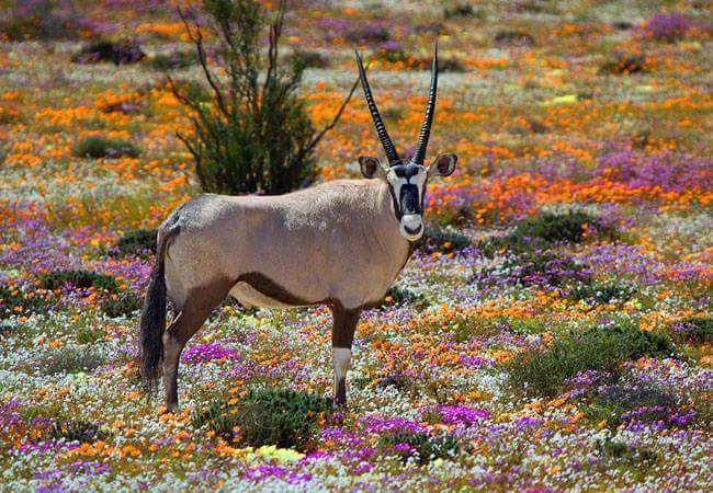 Oryx et saison de floraison en Afrique du Sud