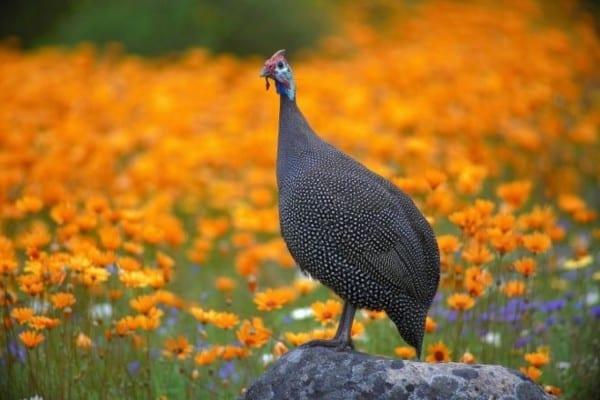 Dinde au milieu des fleurs du Namaqualand en pleine Floraison en Afrique du Sud.