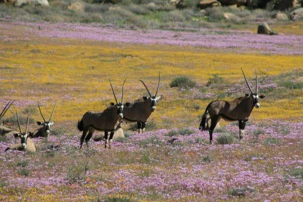 Famille d'oryxs dans le Namaqualand pendant la saison de floraison.