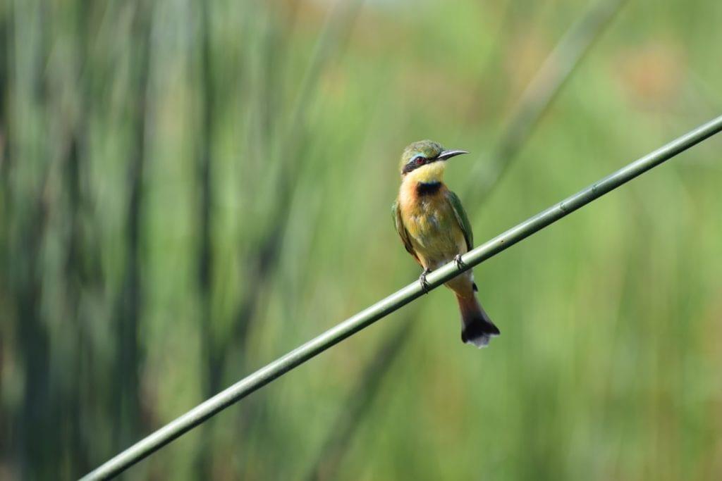 Bee Eater ou l'oiseau coloré qui peuplent les plaines botswanaises.