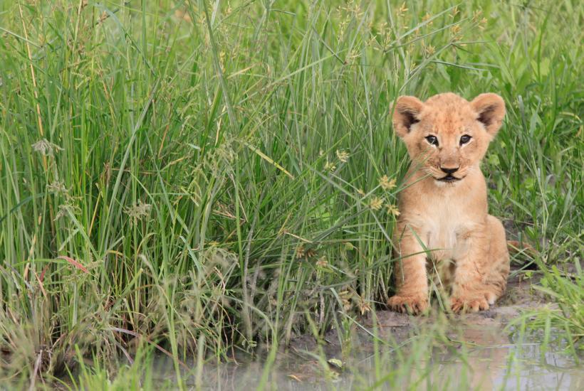 Lionceau dans les hautes herbes du parc de Chobe.
