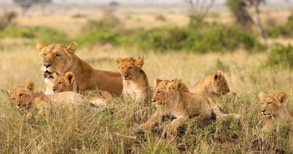 Voyage de Noces au Botswana : Une tribu de lions dans le Parc National de Chobe, au Sud.