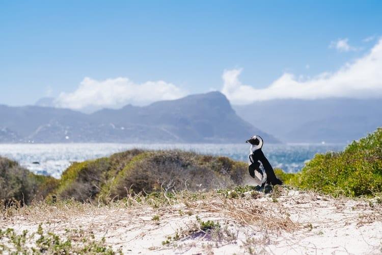"""Photo des manchots de l'article """"Road Trip jusqu'au Cap de Bonne Espérance"""""""