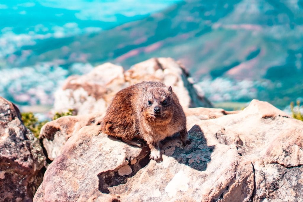 Un dassie sur Table Mountain en Afrique du Sud - Photo de l'article : Table Mountain cable Car ou randonnées