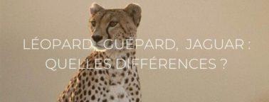 Header ; Léopard, Guépard, Jaguar : quelles différences ?