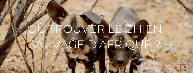 Petit chien sauvage d'afrique