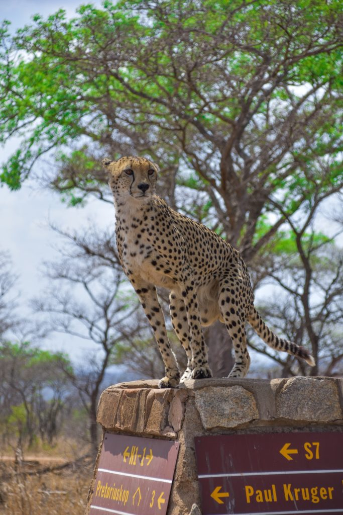 cheetah-kruger