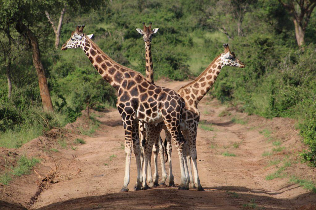 girafe-safari
