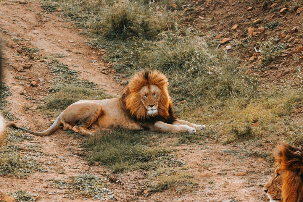 lion-big5